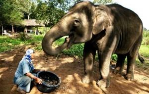na samui predlagayut eksklyuzivnyi kofe iz pometa slonov На Самуи предлагают эксклюзивный кофе из помета слонов