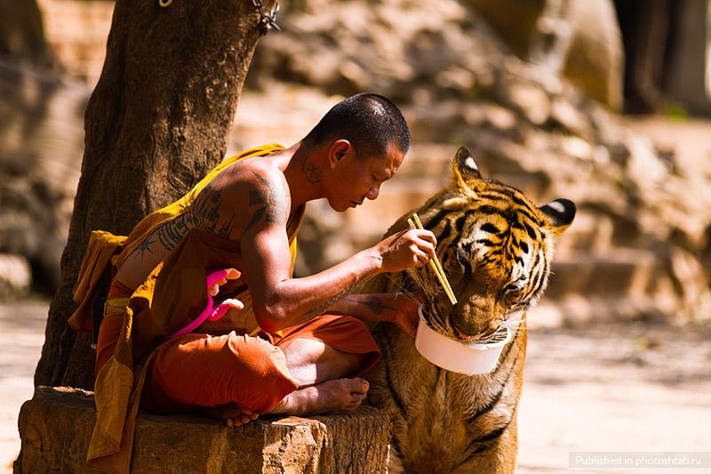 pogladit hishnika mojno v hrame tigrov v tailande Погладить хищника можно в храме тигров в Таиланде