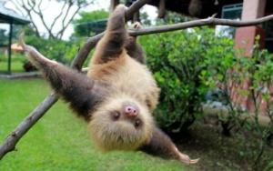 v zooparke londona vpervye rodilsya lenivec В зоопарке Лондона впервые родился ленивец