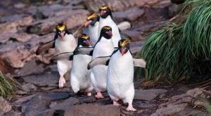 v zooparke shenbrunn poyavilis ptency hohlatyh pingvinov В зоопарке Шенбрунн появились птенцы хохлатых пингвинов