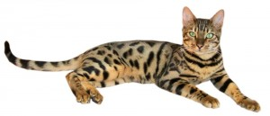 Brown spotted tabby bengal cat 300x129 Кошки